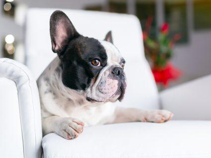 Cão a ver TV deitado no sofá