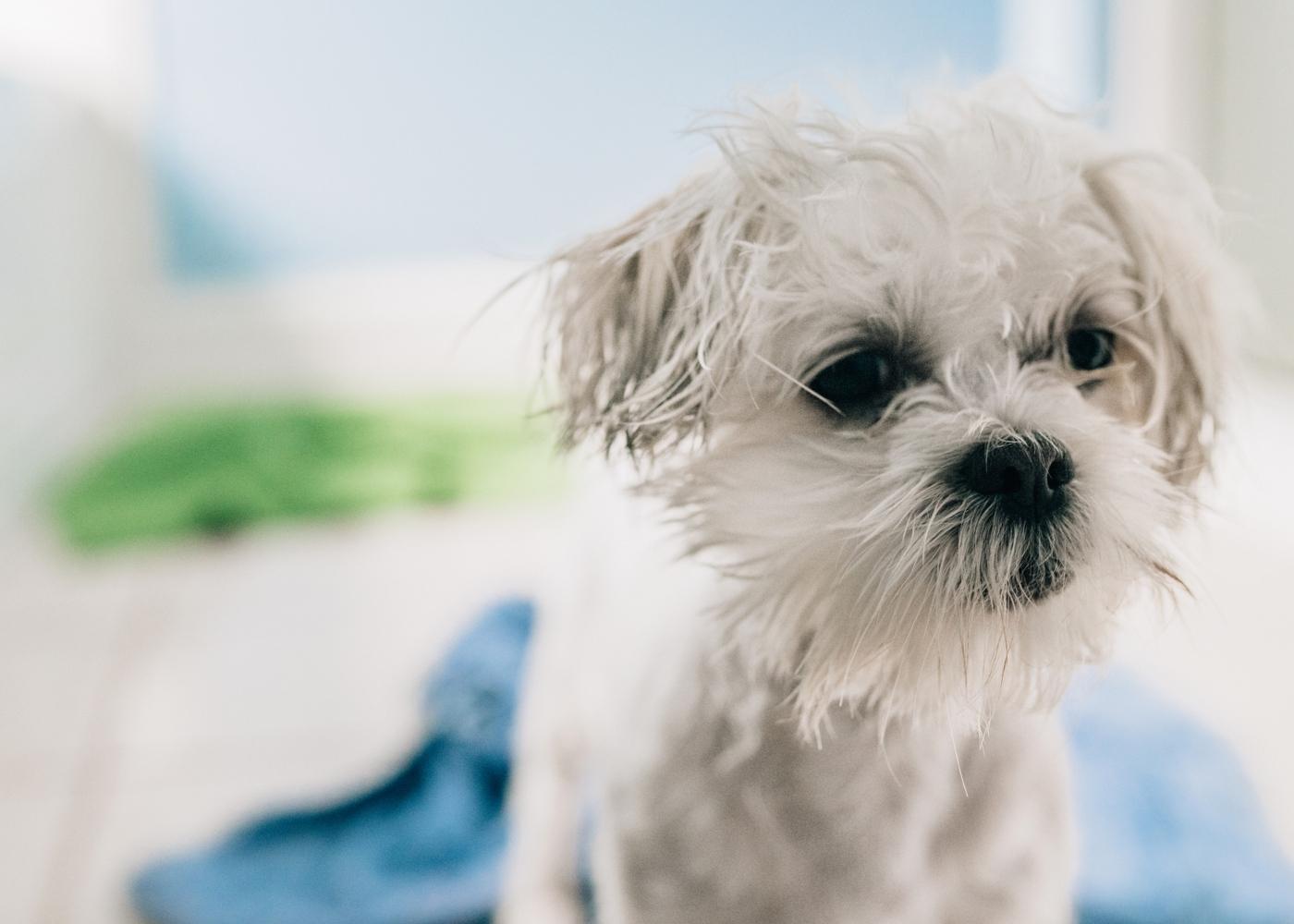 Cheiro a cão: cachorro após tomar banho com champô seco