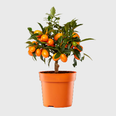 citrina-plants
