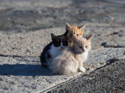 Colónias de gatos de rua e projetos CED: grupo de gatos