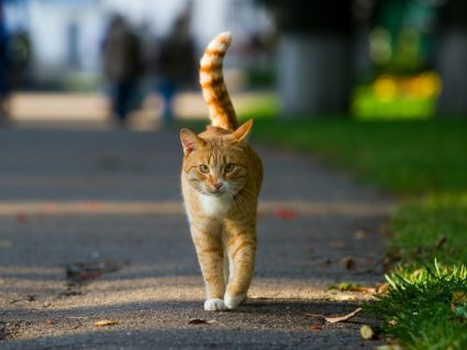 COVID-19 e felinos: gato na rua