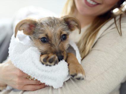 Mulher a secar patudo após o banho para evitar o cheiro a cão