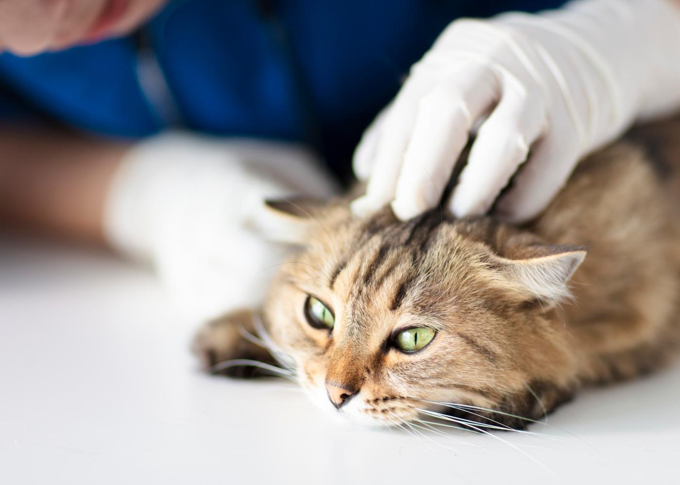 Gato a ser tratado pelo médico veterinário