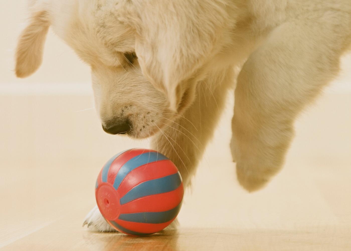 exercícios que pode fazer com o seu cão em casa: jogar à bola