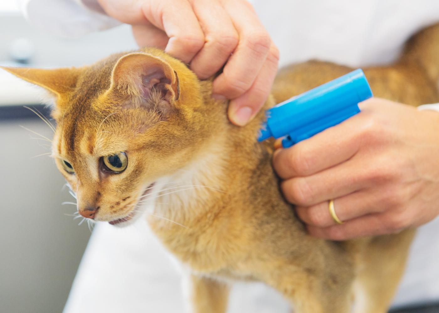 Obrigatoriedade de declarar óbito e desaparecimento de animais de companhia: veterinário a colocar chip em gato
