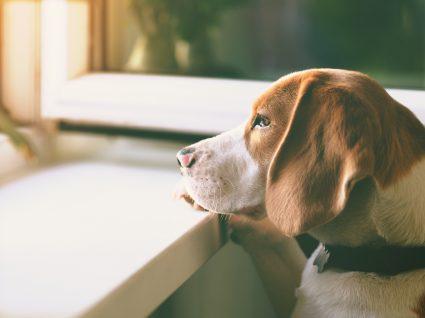 Animais de estimação sozinhos: cão a olhar pela janela à espera que o tutor chegue a casa