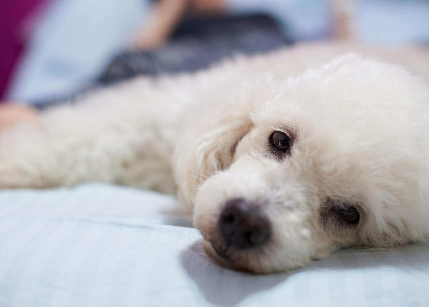 Caniche deitado numa cama