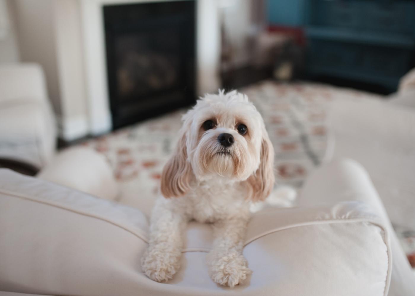 Caniche a brincar no sofá
