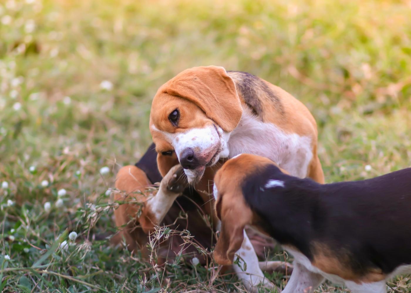 Prurido nos cães: cão com alergias