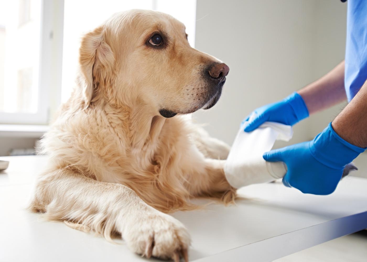 Veterinário a fazer curativo a pata de cão
