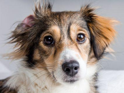 Eczema em cães: cão com comichão na orelha