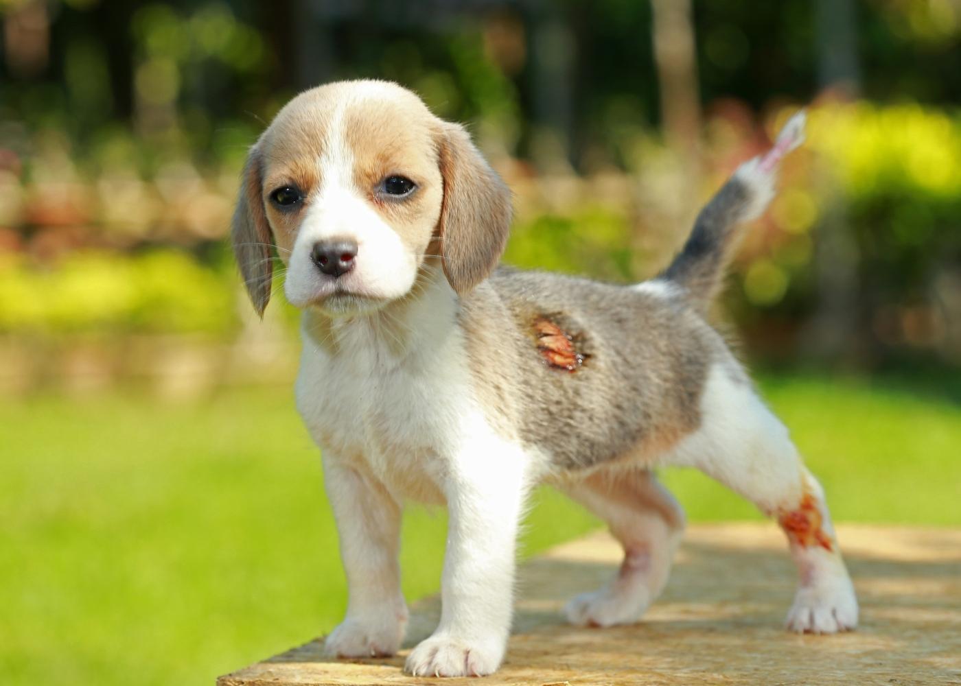 Cão com feridas na pele