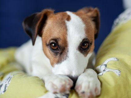 Cão com o focinho inchado