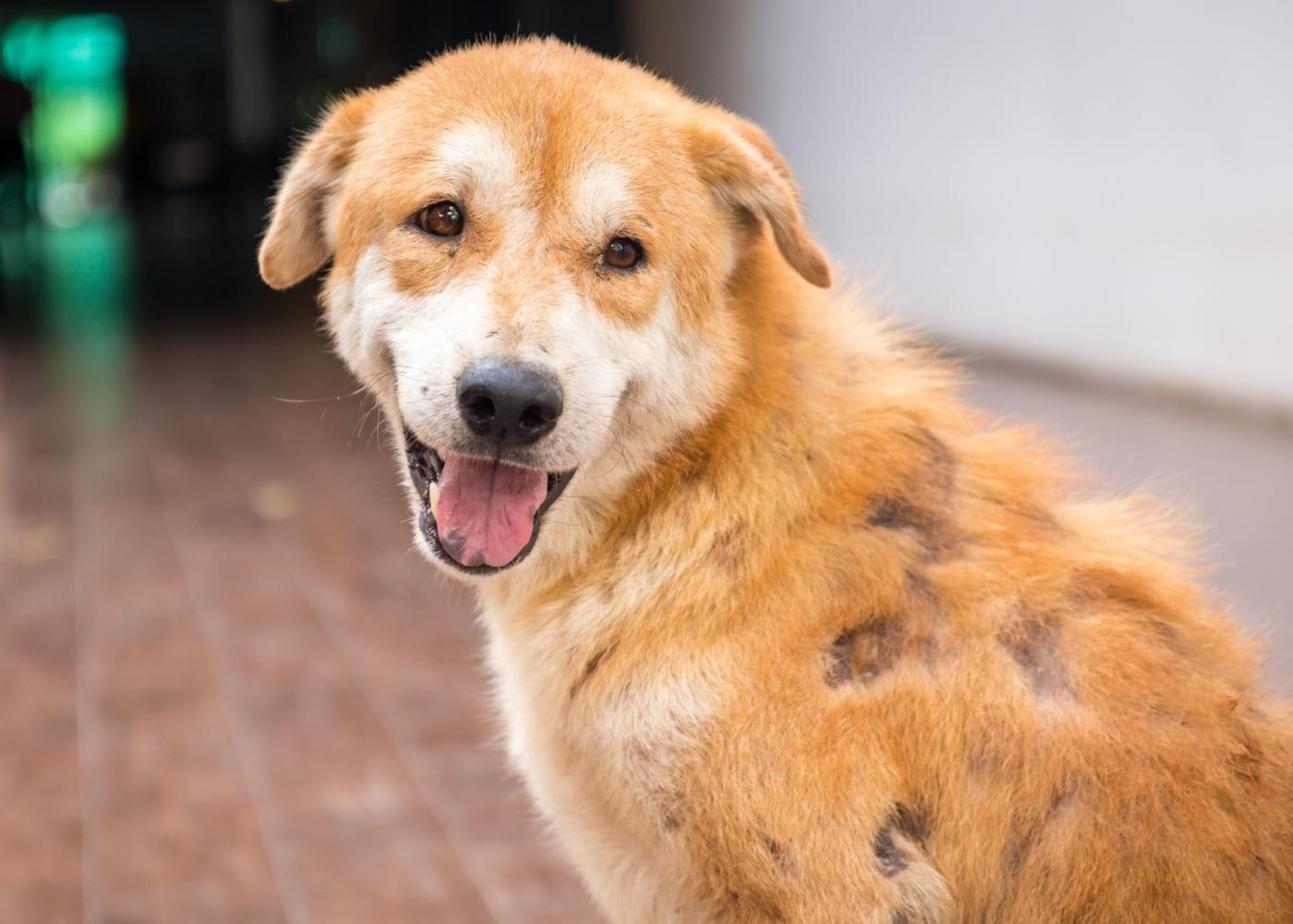 Cão com dermatite por mallassezia: lesões no pelo e na pele