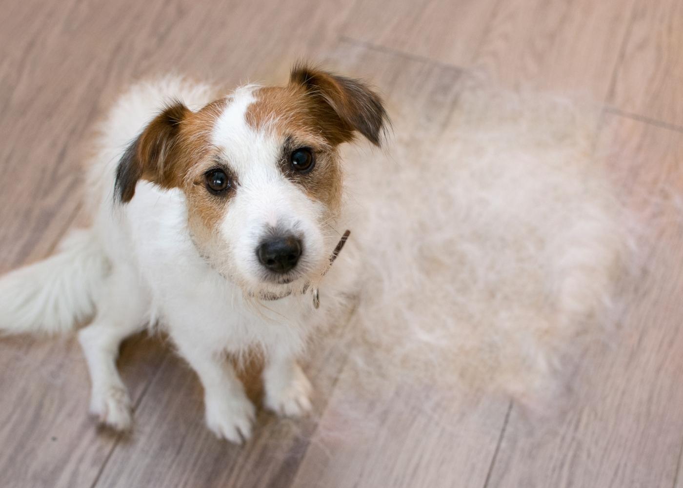 Prurido nos cães: cão com queda de pelo