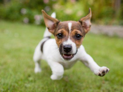 Gengivite nos cães: causas e sintomas