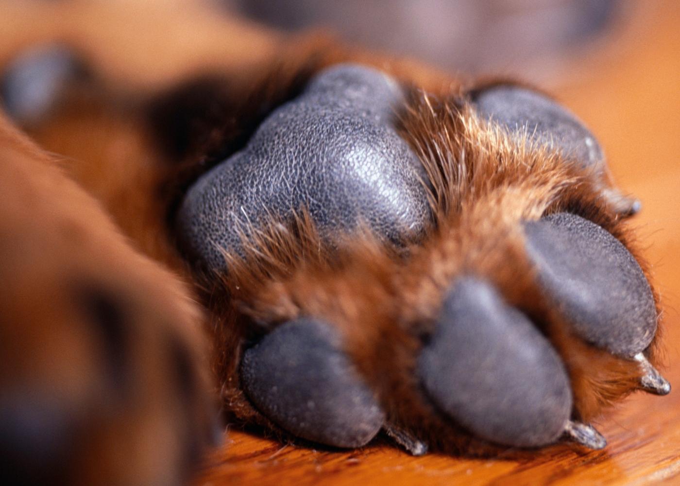 Almofadas plantares da pata de um cão