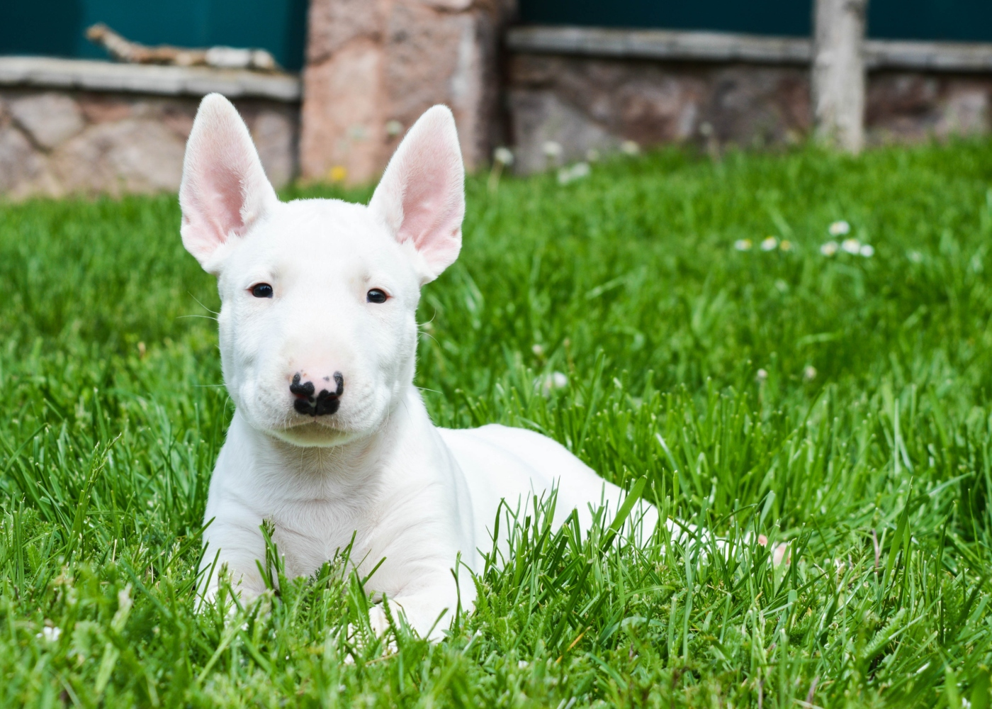 Bull Terrier deitado no jardim