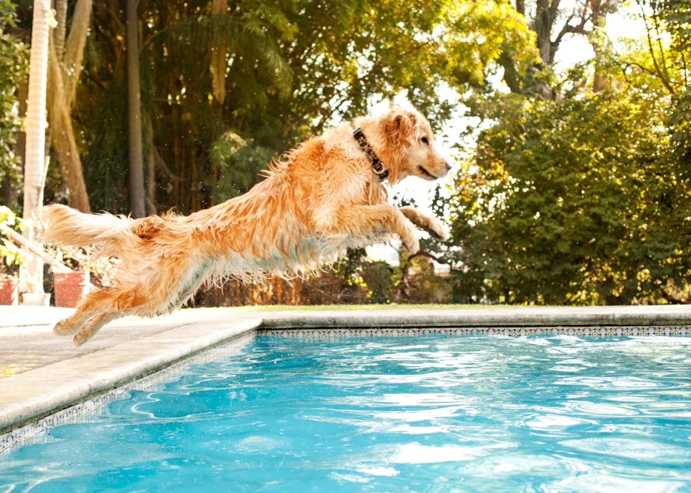 Cão a atirar-se para uma piscina