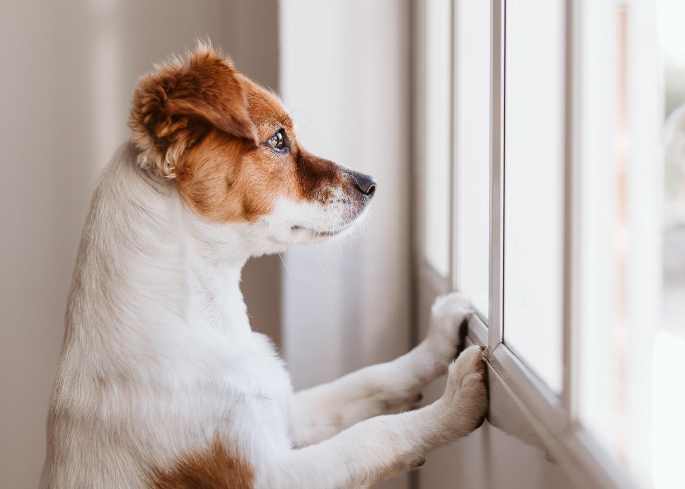 Cão a olhar pela janela