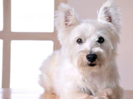 Cão com osteopatia craniomandibular