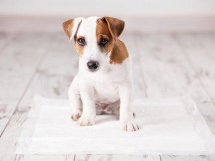 Xixi e cocó no sítio errado: cão em cima de uma toalha absorvente