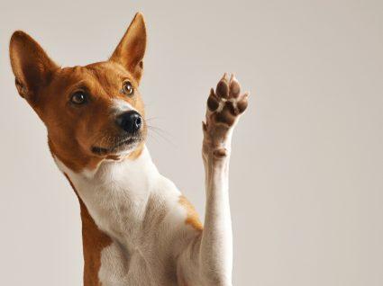 Como tratar feridas nas almofadas das patas dos cães: cão a mostrar a pata