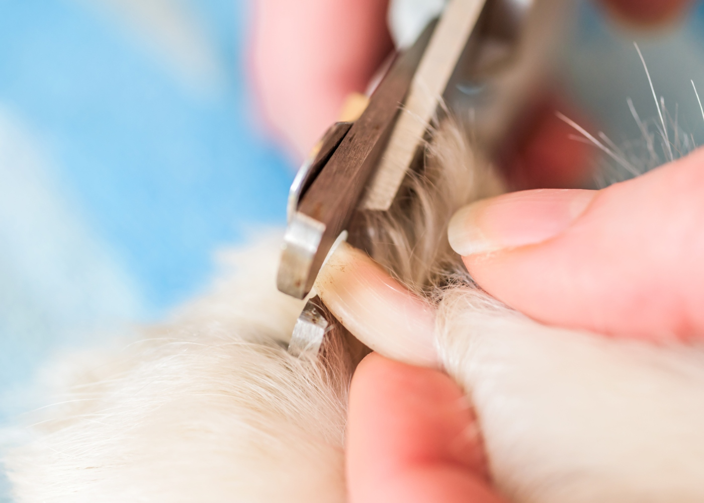 Tutora a cortar as unhas ao cão com um corta-unhas apropriado