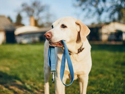 Passear o cão: Labrador com trela na boca