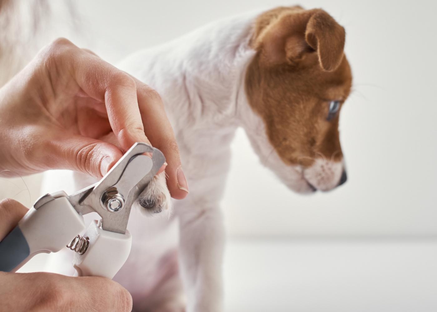 Tutora a cortar unhas a cachorro