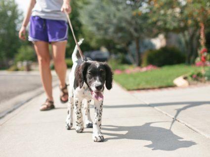 Como ensinar cão a andar à trela