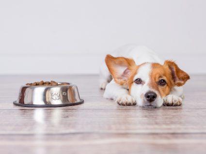 Ração para cães: cão deitado ao lado do prato de comida