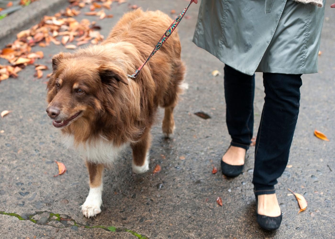 Tutora a passear cão de manhã