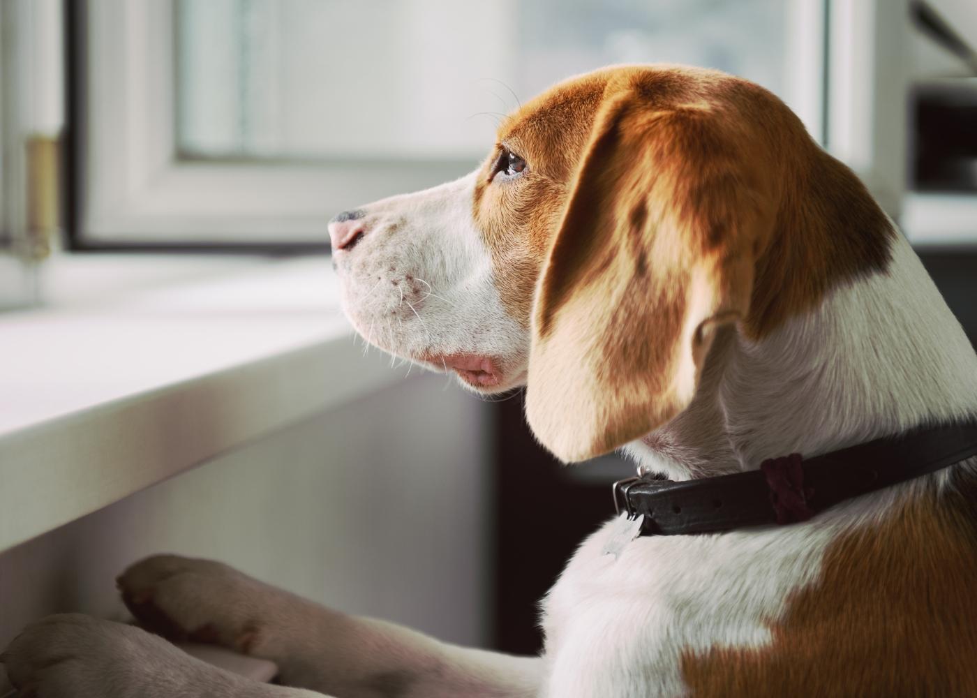 cão à espera do dono na janela