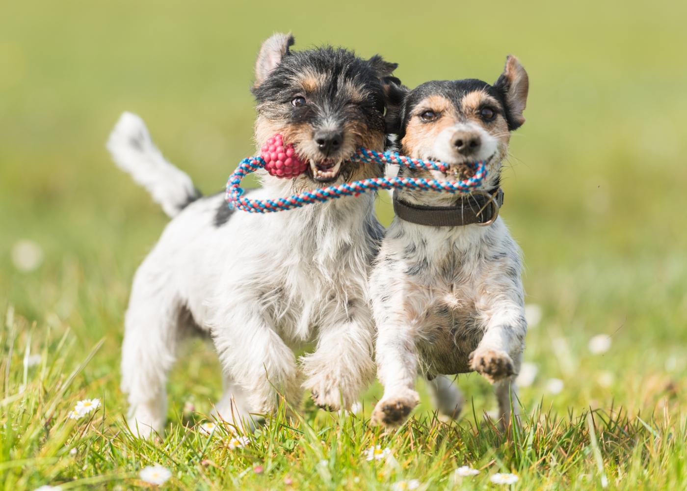 cães no hotel canino a brincar
