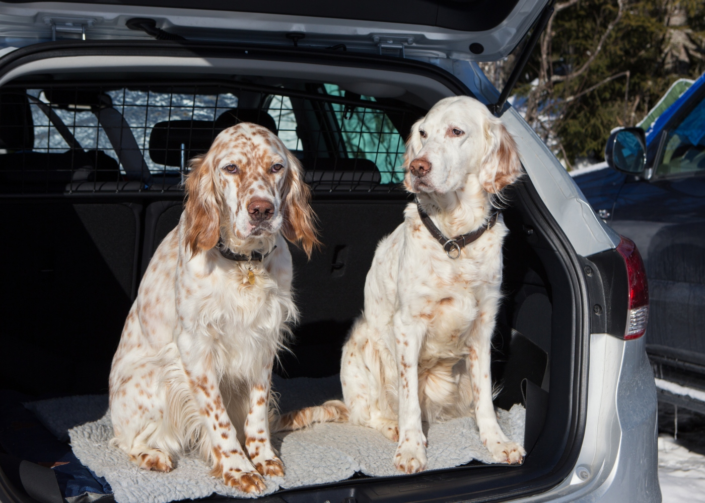 Dois cães na mala de um carro