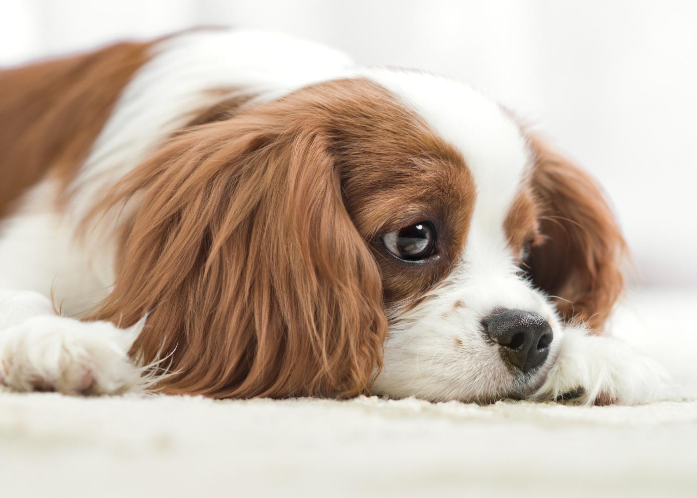 cão deitado com dor ou mal estar