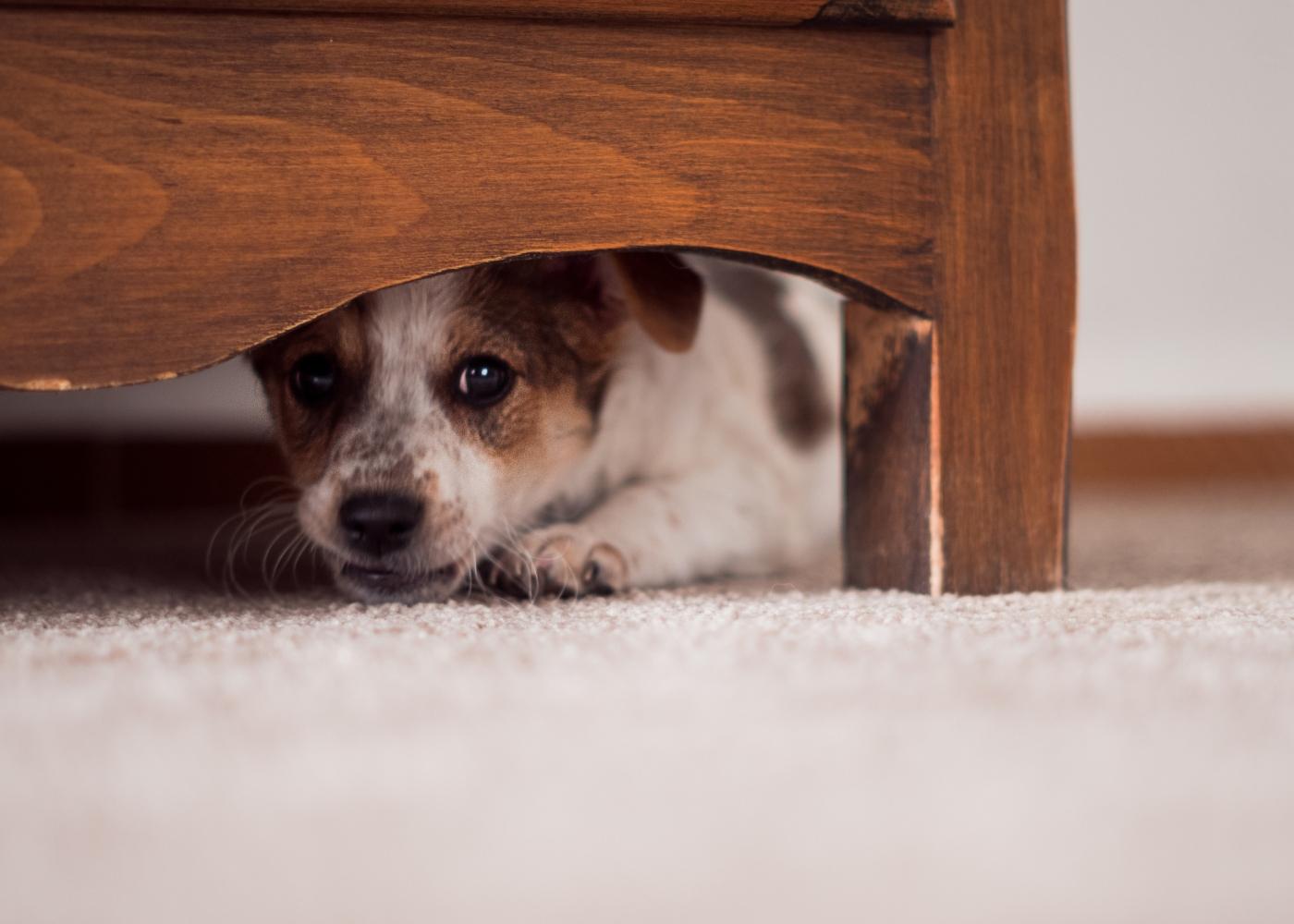 Cão com medo debaixo de uma cadeira