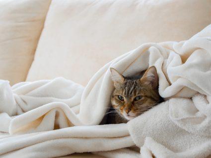 Gato com bronquite felina deitado no sofá