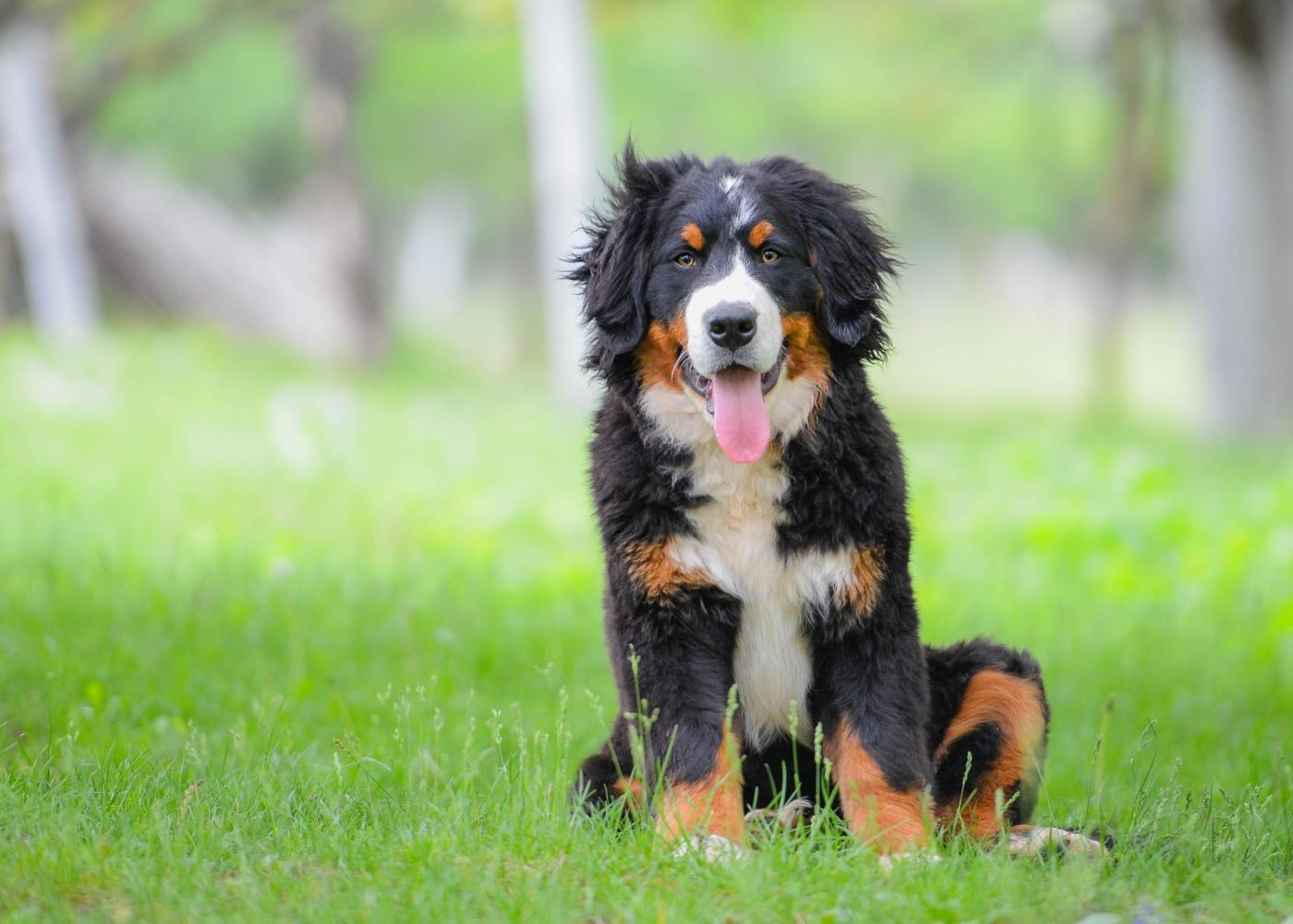 cão pastor australiano no jardim