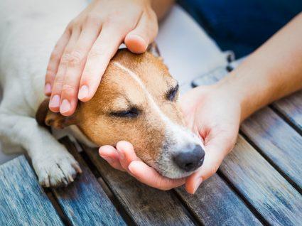 Cão com sintomas de leptospirose canina