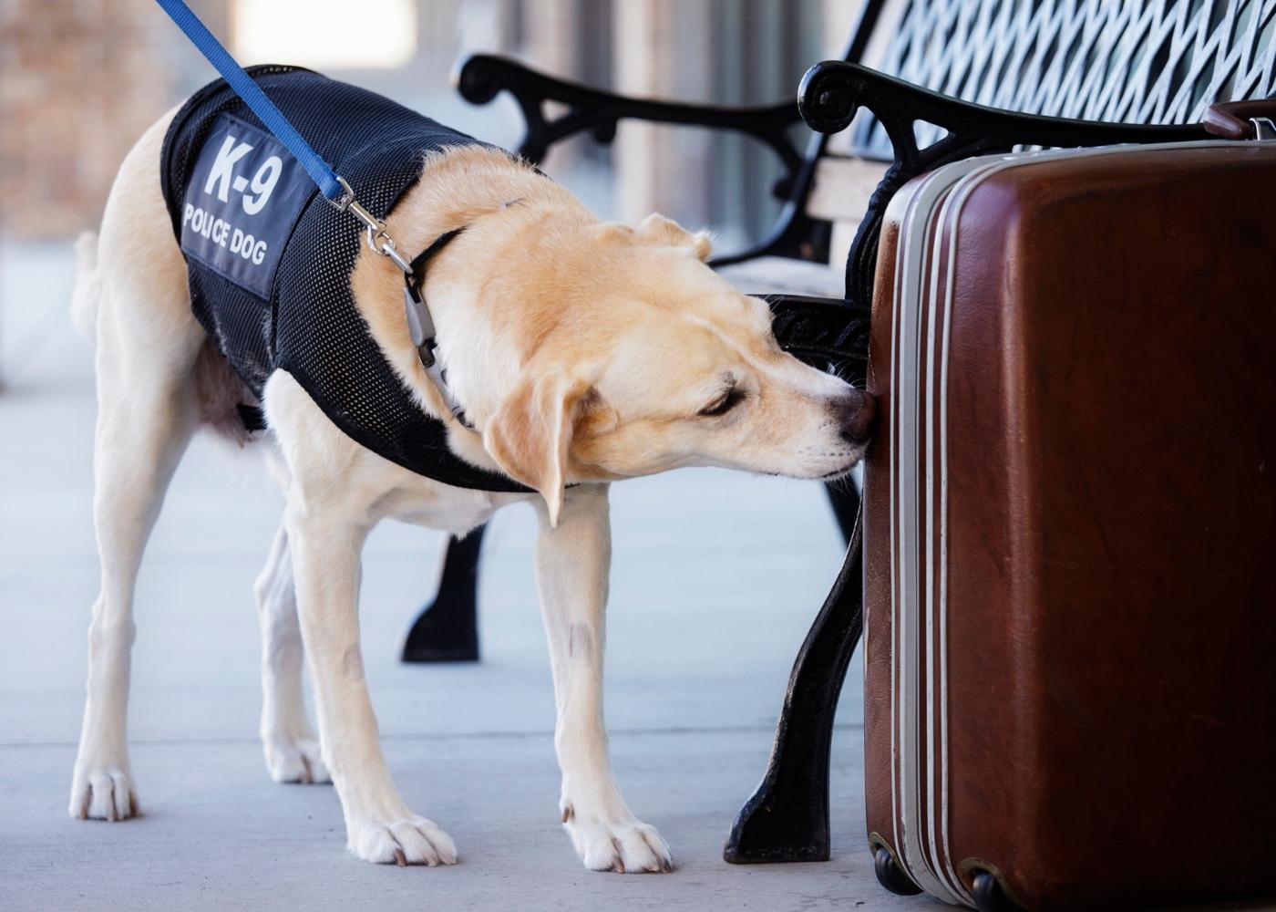 Cão polícia a cheirar mala